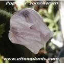 papaver-somnifera-opium-poppy