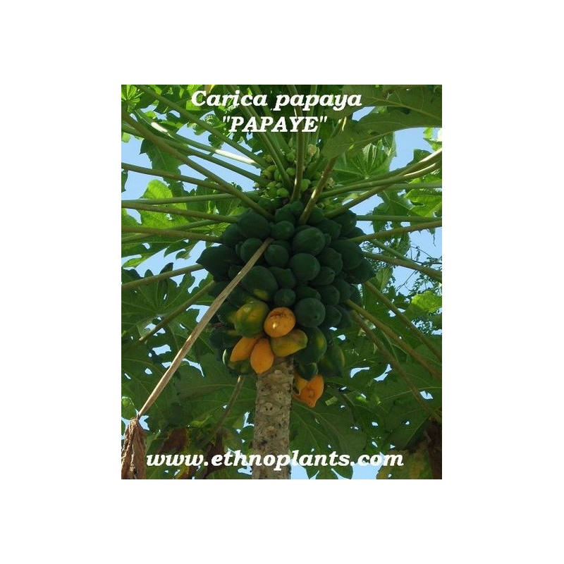 papaya melonenbaum samen kaufen. Black Bedroom Furniture Sets. Home Design Ideas