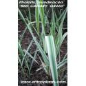 phalaris-arundinacea-plante