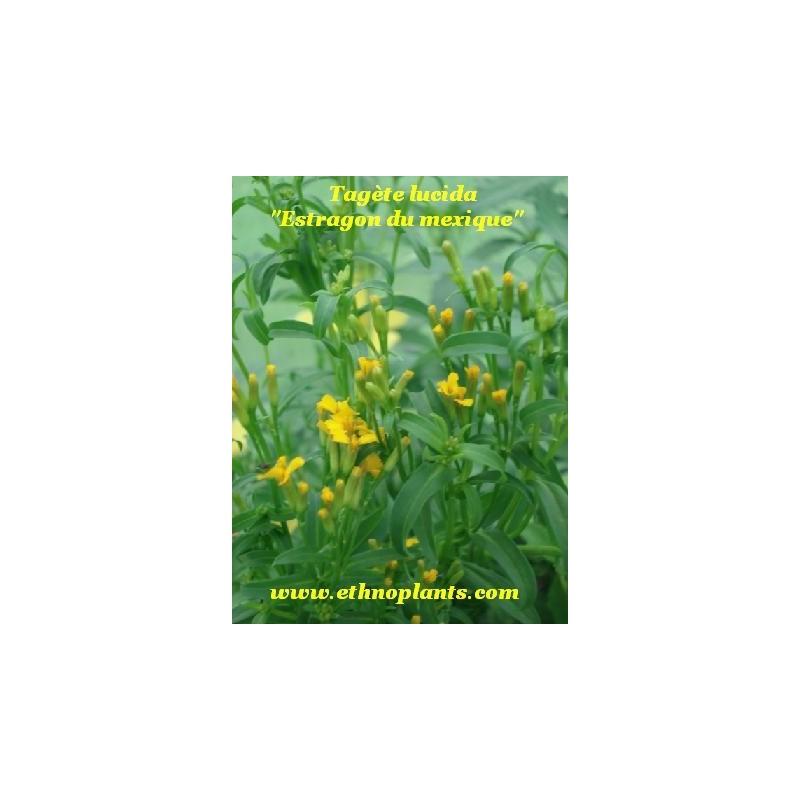 Estragon mexicain plante de tagetes lucida achat - Plante du mexique ...