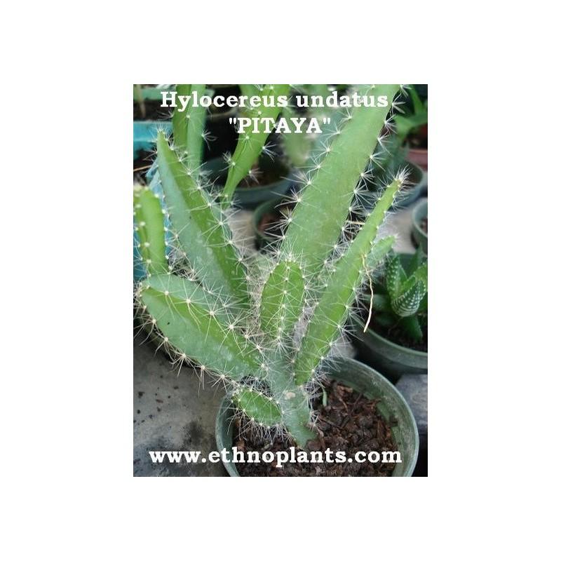 pitahaya drachenfrucht auch hylocereus pflanze kaufen. Black Bedroom Furniture Sets. Home Design Ideas