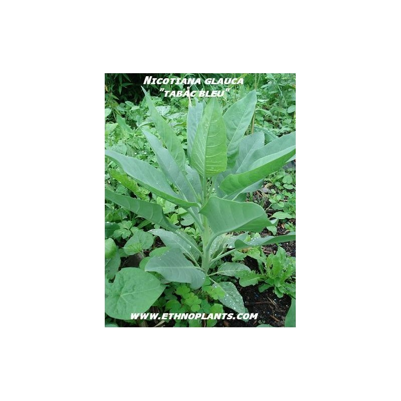 Tabac glauque plante de nicotiana glauca achat for Achat plante