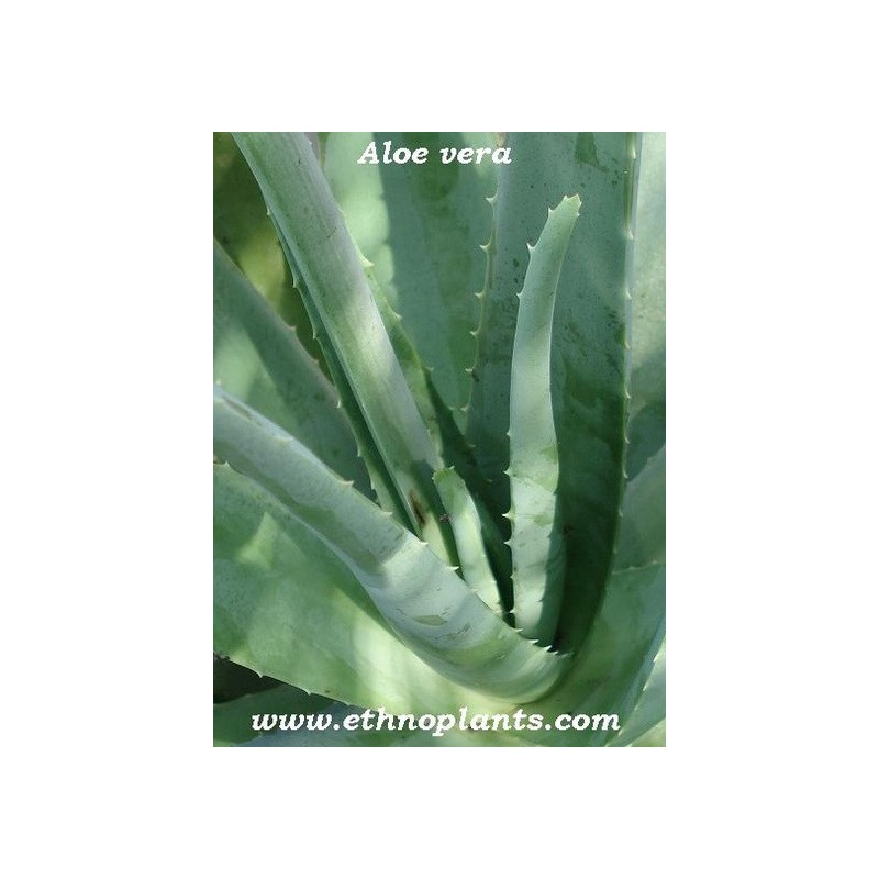 aloe vera plante d 39 aloe barbadensis achat. Black Bedroom Furniture Sets. Home Design Ideas