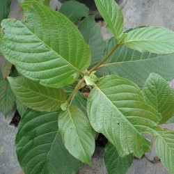 kratom seeds pods