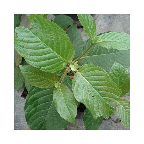 Horned Leaf Maeng Da Kratom Reading