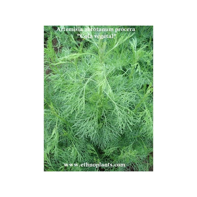 Cola v g tal plante d 39 artemisia abrotanum procera for Plante vegetal