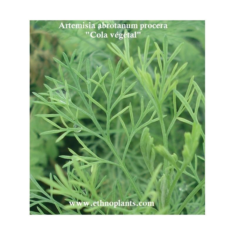 Cola v g tal plante d 39 artemisia abrotanum procera for Achat plante