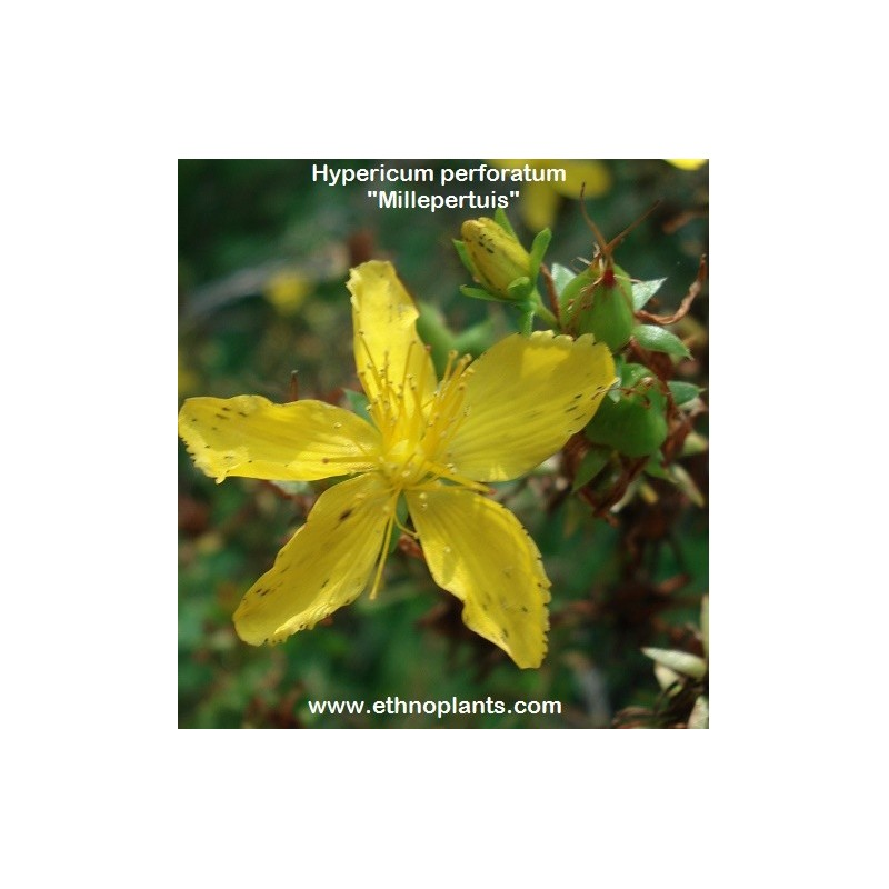 the medical uses of the hypericum perforatum stjohns wort St john's wort is the common name for hypericum perforatum, an herbal supplement it has many uses, though not all are supported by research, and use of the supplement remains controversial some people use st john's wort directly on the skin to treat.