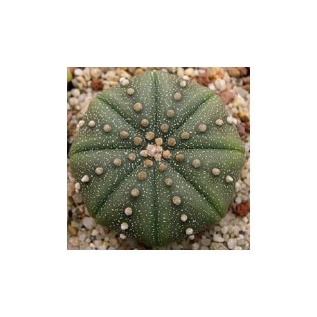 Astrophytum-cactus-oursin-graines