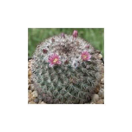 Mammillaria-cactus-sacre-graines