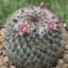 Mammillaria-samen-saatgut