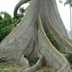 Ceiba pentandra CEIBA LUPUNA KAPOK (10 semillas)