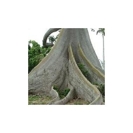 Ceiba-pentandra-kapokbaum-samen