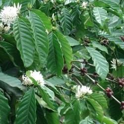 Coffea arabica KAFFEESTRAUCH / KAFFEE (15 samen)