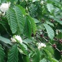 Coffea arabica COFFEE (15 seeds)