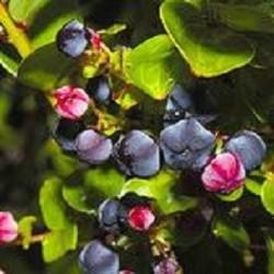 Coriaria-shanshi-samen