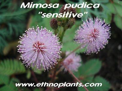 Mimosa pudica seeds, Sensitive plant for sale