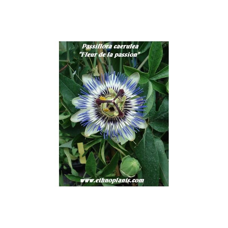 Passiflora caerulea Pasionaria Trepadora 50 semillas seeds flores 0,5 gr