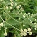 Pfaffia paniculata SUMA or BRAZILIAN GINSENG (5 seeds)