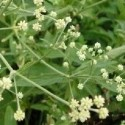 Pfaffia paniculata SUMA o GINSENG DE BRASIL (5 semillas)