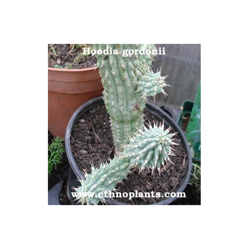 Hoodia Gordonii Seeds For Sale And Sowing