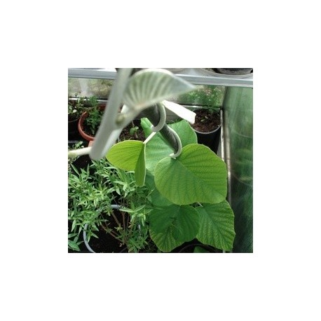 hawaiian-baby-woodrose-semillas