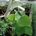Argyreia nervosa HAWAIIAN BABY WOODROSE (10 semillas)