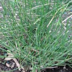 Ephedra sinica  MA-HUANG (10 semillas)