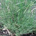 Ephedra sinica MA HUANG (10 seeds)
