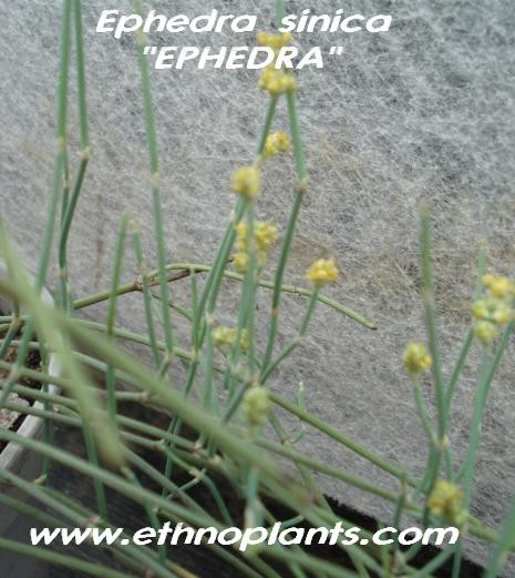 Ephedra sinica seeds, Ma-Huang for sale