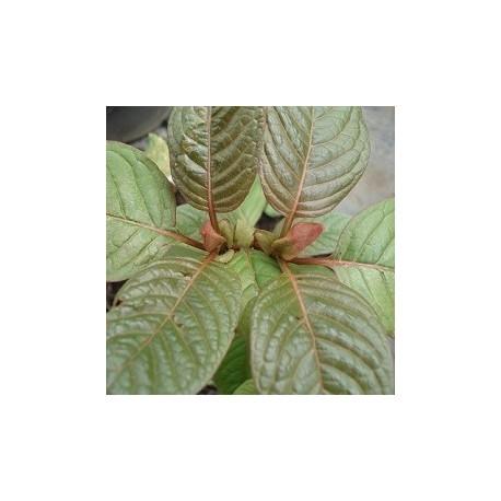 kratom-rojo-semillas