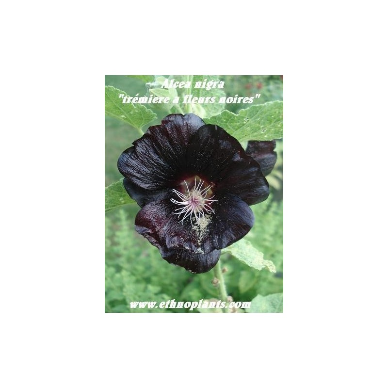 Tall Hollyhock Black Flower Alcea Rosea Nigra: Black Hollyhock Seeds, Alcea Nigra For Sale