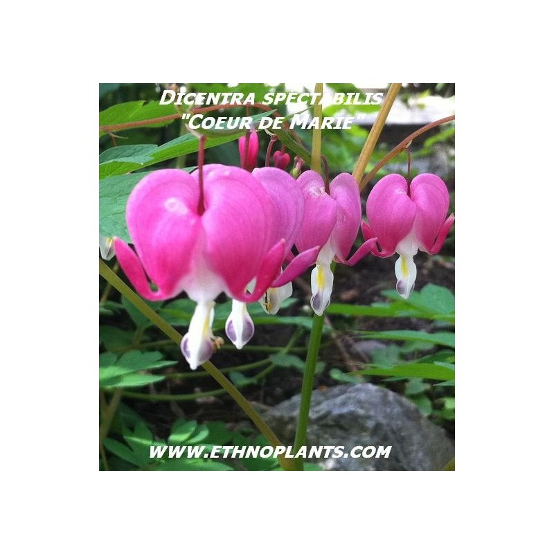 Coeur de marie graines de dicentra spectabilis - Dicentra coeur de marie ...