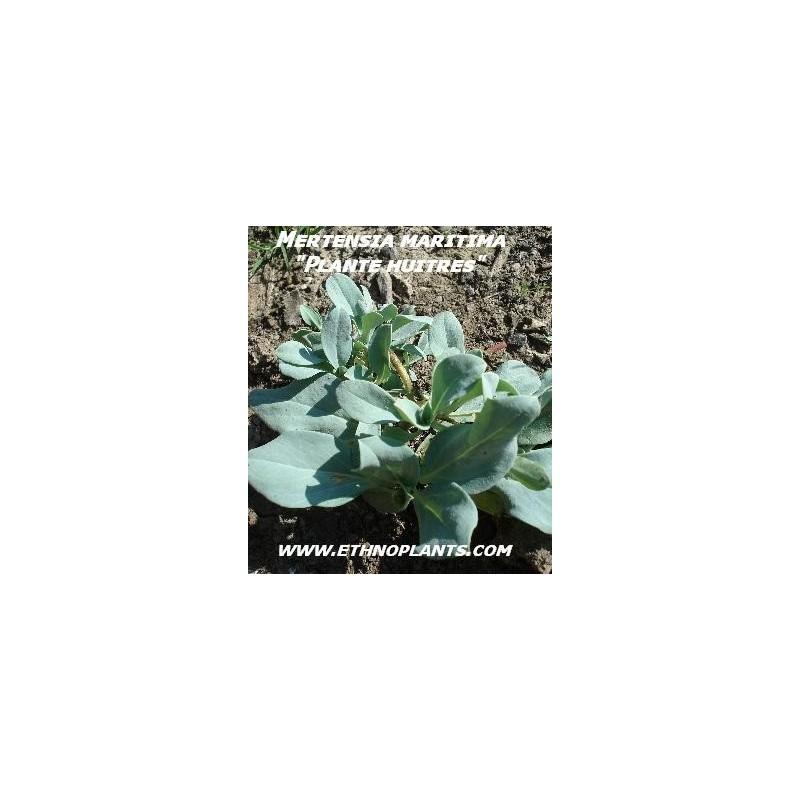 Plante hu tre graines de mertensia maritima for Plante huitre