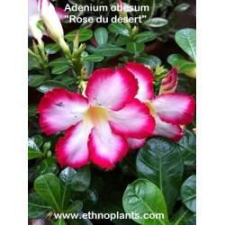 Adenium obesum ROSE DU DÉSERT / LIS DES IMPALAS (10 graines)