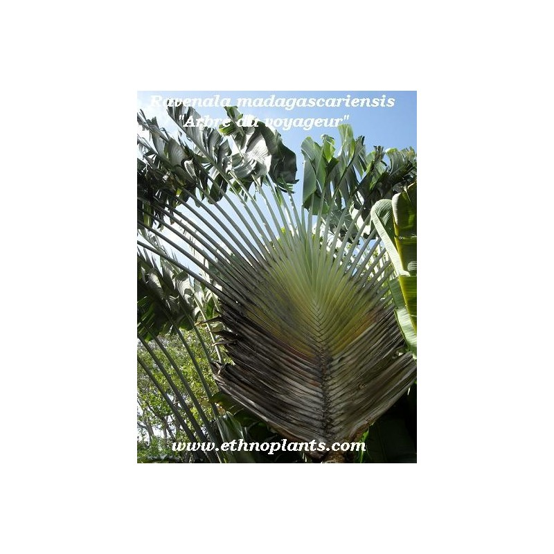 Travelers Palm, Ravenala madagascariensis seeds for sale