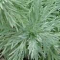 Artemisia umbelliformis ALPS WORMWOOD (30 seeds)