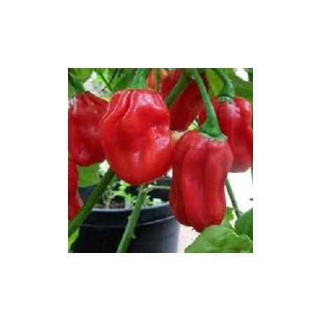 habanero-chili-samen