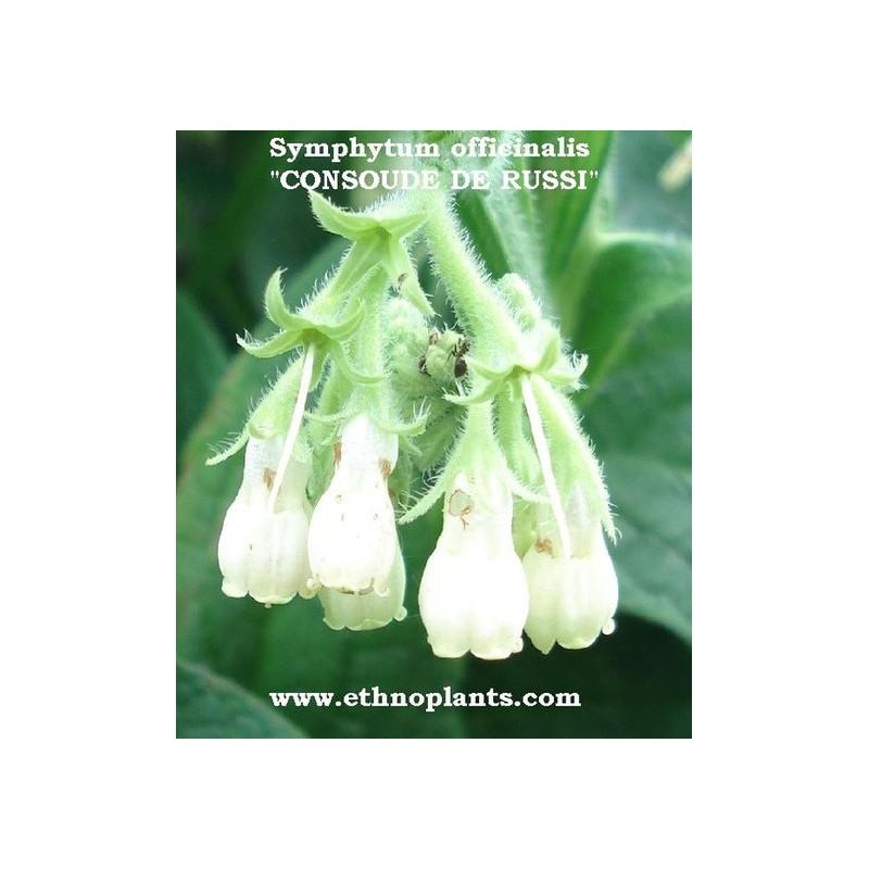 Consoude graines de symphytum officinale - Graine de consoude ...