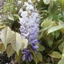 Wisteria sinensis CHINESE WISTERIA (5 seeds)
