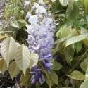 Wisteria sinensis GLICINIA (5 semillas)