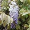 glicinia-semillas