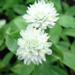 Gomphrena globosa AMARANTO GLOBOSO (10 semillas)