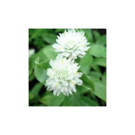globe-amaranth-seeds
