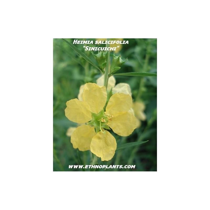 Heimia salicifolia online dating