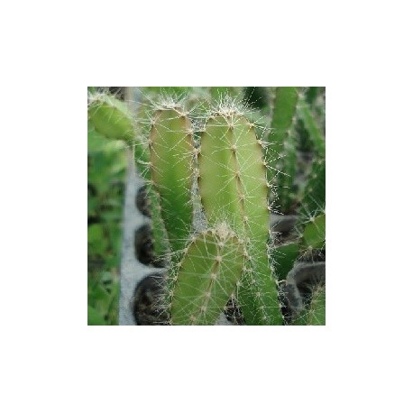 pitaya-plante