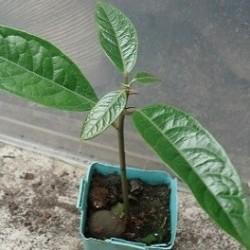 arbol de cola planta