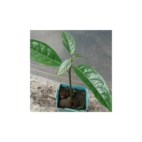 kolatier plante