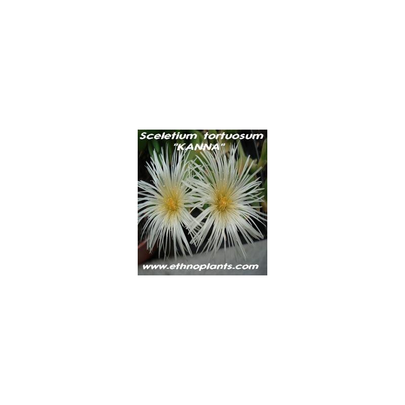 Premium Sceletium tortousum--Kanna for sale to Buy ...