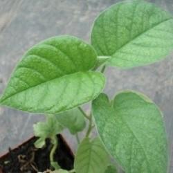 rosa lisergica planta